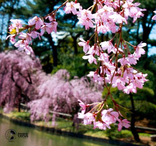 Expedição Vida - cerejeira-japonesa 2