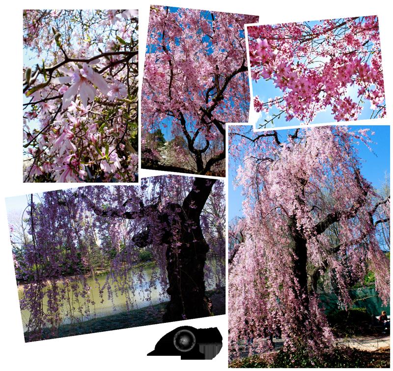 Expedição Vida - cerejeira-japonesa 3