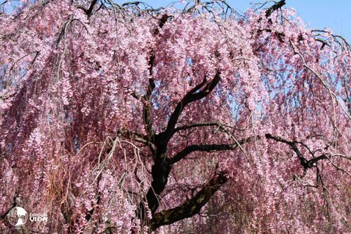 Expedição Vida - cerejeira-japonesa 4