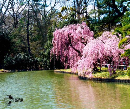 Expedição Vida - cerejeira-japonesa